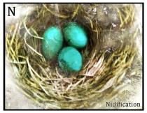 nidification