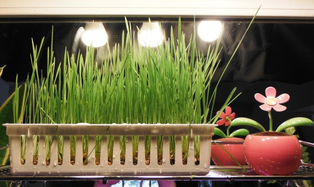 Wheat Grass Sprouter